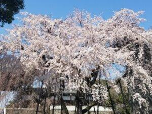 さくら咲け!!
