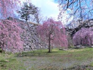盛岡城跡公園の桜が咲きました!
